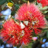 Pohutakawa flower
