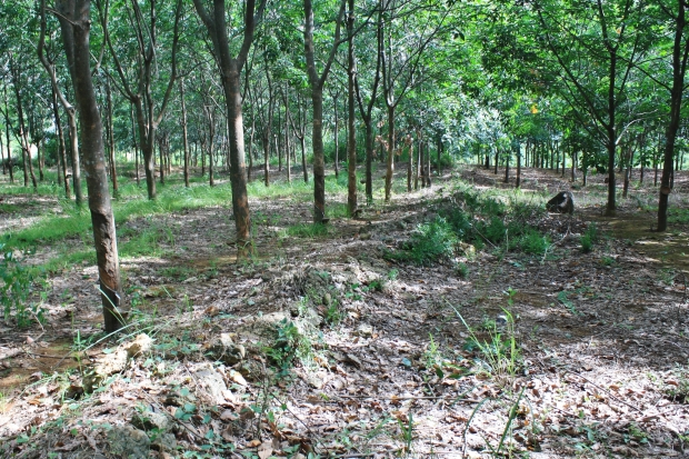 Amongst the rubber trees were remnants of defensive structures and sandbags