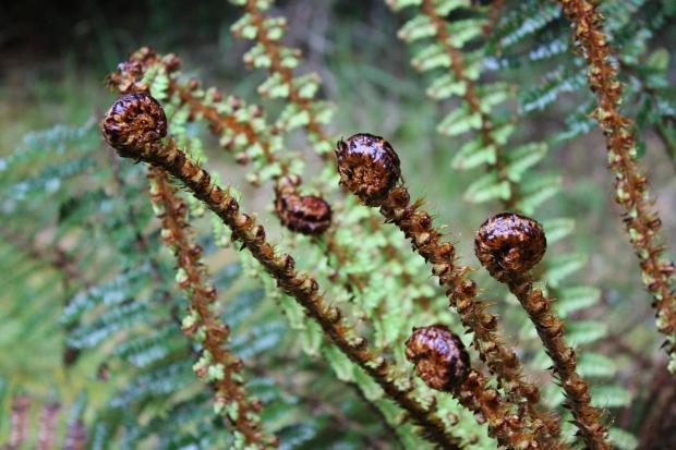 Fantail Falls fern frond