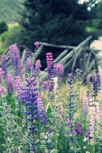Russell Lupins and cart, Cardrona