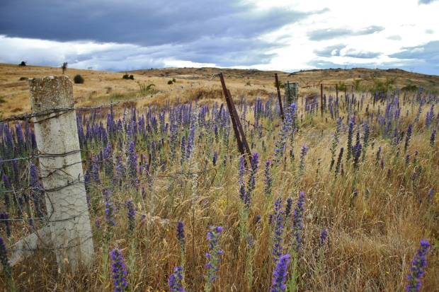 Brown landscape and fence, Central Otago