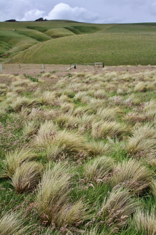 Slope Point tussock