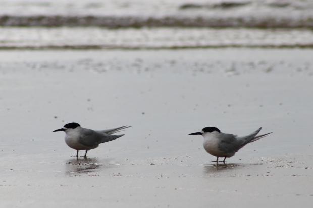 Caspian terns, Porpoise Bay