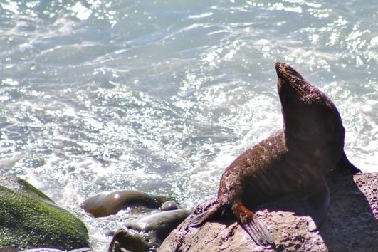 Ohau Point seal colony
