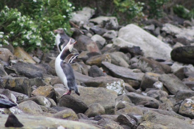 Yellow Eyed Penguin, Curio Bay