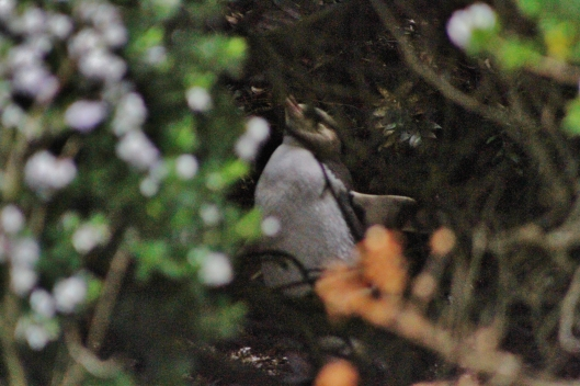 Rough photo, but this was from about 15m in dim evening light, peering into the shrubbery along the top of the beach where a baby yellow eyed penguin was waiting patiently for ma to return with some food