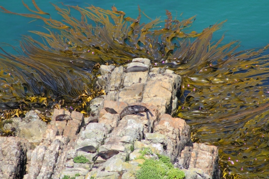 Basking seals surrounded by tentacles of bull kelp
