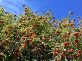 Rowan tree... aren't they jolly