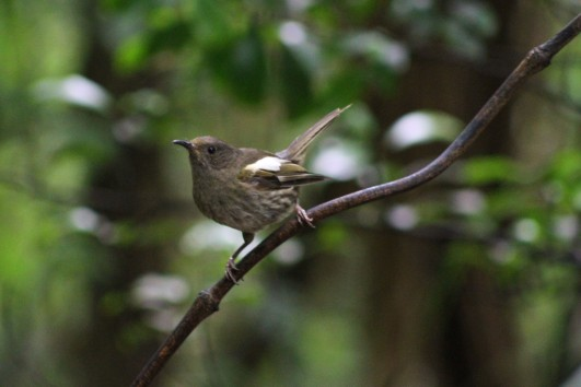 Success! A female stitchbird, also known as hihi. One of NZ's rarest birds