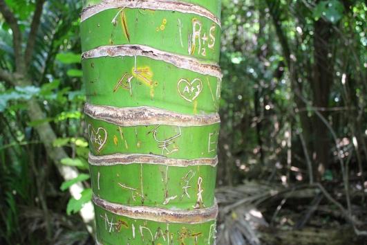 Nikau palm, Kapiti Island