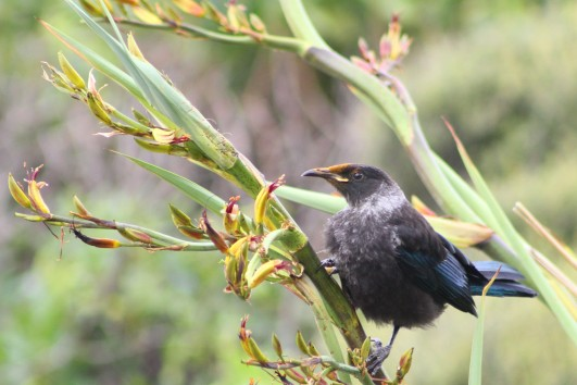 A young tui