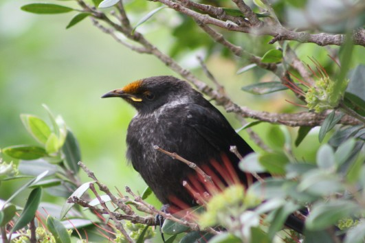 Another young tui I think, though bird expert I am not