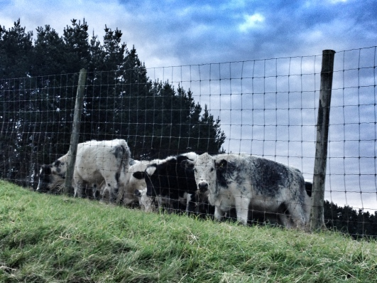 The fences are for deer, not bionic cows