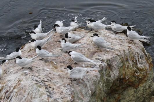 Birds, Aramoana
