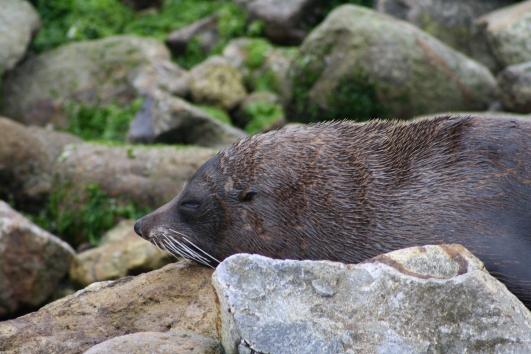 Seal, Aramoana
