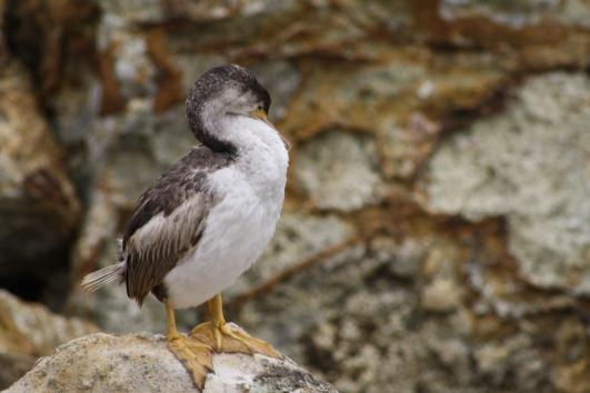 Bird, Aramoana