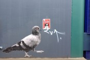 Another freaky pigeon, St Hill Street