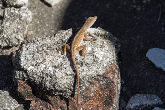 lizard, new orleans