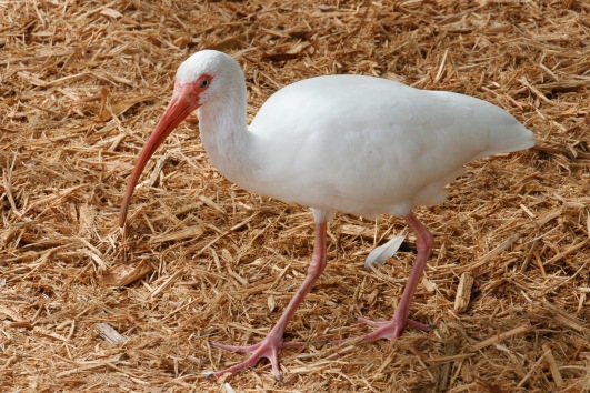 Several ibis were scooting around, trying to avoid the gravel being thrown at them by a horrid child