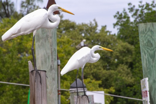 More white birds, egrets this time