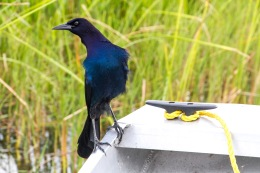 Boat-Tailed Grackle, Florida Everglades