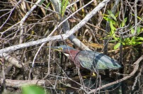 Green Heron on a mission