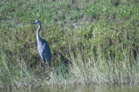 blue heron, Kennedy Space Centre