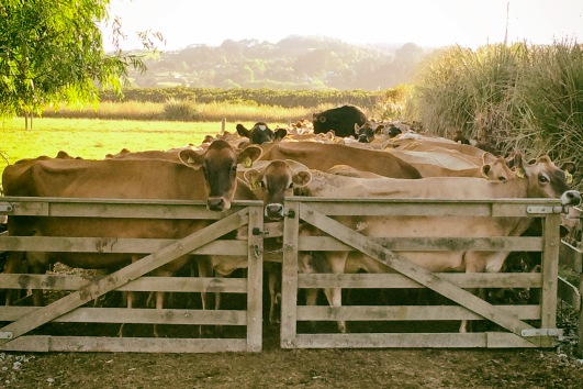 Every morning like clockwork these cows wait for the gate to be opened, so that they can cross the road and mosey (moosey?) along to the milking shed.