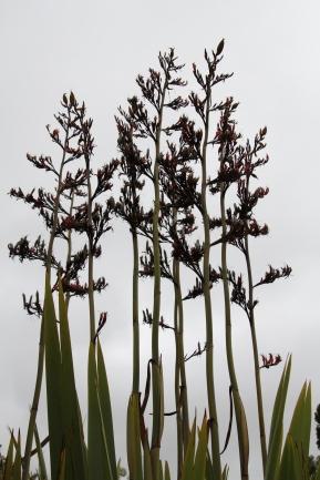 flax, kaipara river