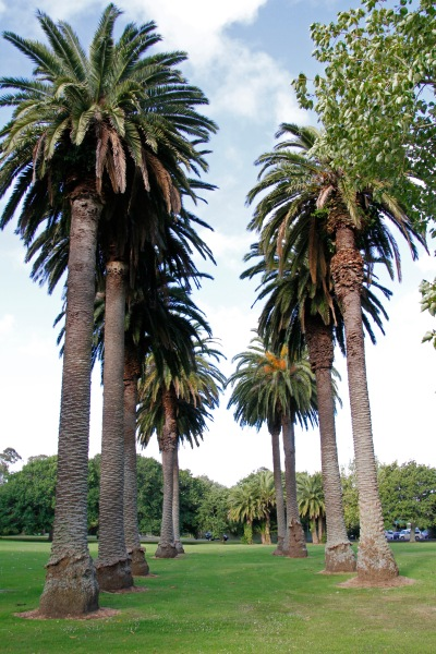 In the middle of Parakai Domain is this avenue of palm trees, legacy of a time when the town's geothermal tourism was really taking off