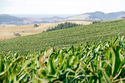 Not far away was maize, lots of maize