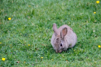 One of the hundreds?? of rabbits around Whakapapa Village