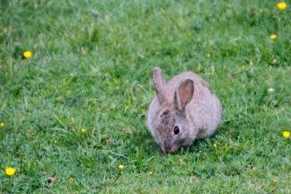 One of the hundreds?? of rabbits around Whakapapa Village