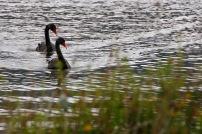 Black swans, Lake Okareka
