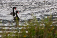 Black swans, Lake Okareka