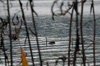 Black swan, Lake Okareka