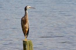 A heron I think (Lake Okareka)