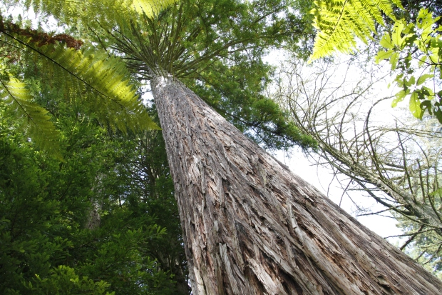 The Redwoods, Rotorua
