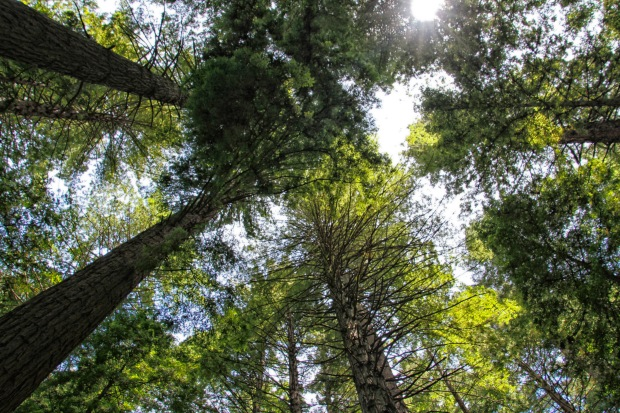 The Redwoods, Rotorua.