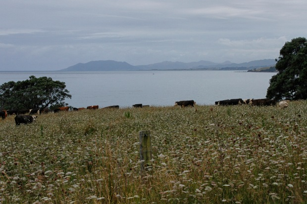There's a family connection with Cape Runaway so when it came into view I stopped. The chewing cows were less impressed.