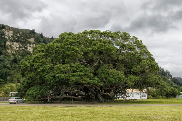 Te Araroa is proud home to what's regarded as NZ's largest pohutukawa tree, thought to be about 600 years old. How stunning this must be in full bloom.