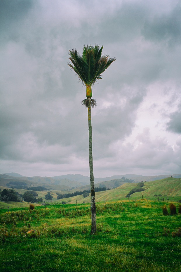 Nikau trees were dotted around - I assume they are partly attributable to the name of the road (Panikau).