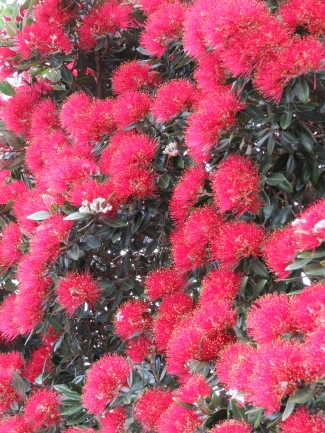 The pohutakawas are stunning at the moment