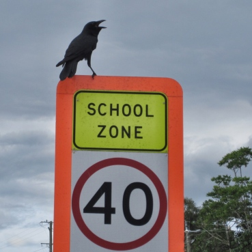 A crowing crow