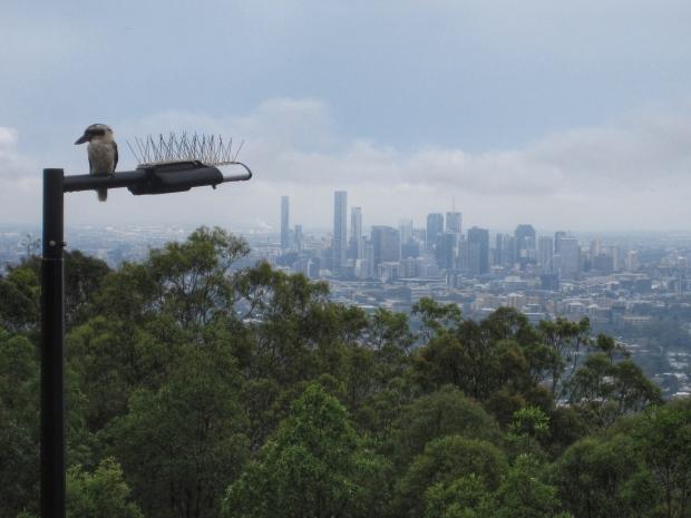 Brisbane kookaburra