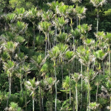 cabbage trees and nikau palms