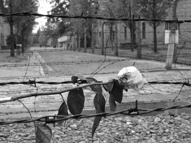 Auschwitz rose on barbed wire