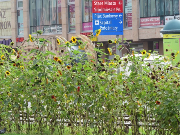 A long strip of sunflowers appeared down the middle of one of the main arterials