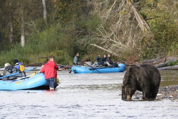 There was also a controversial incident - the guide in the red jacket had Bent Ear appear from nowhere and just had to keep the boat still until he moved on. However, the other boat pictured was steered by a rookie guide who ignored distance protocols to travel downriver past the bear and find a spot for his clients to watch.