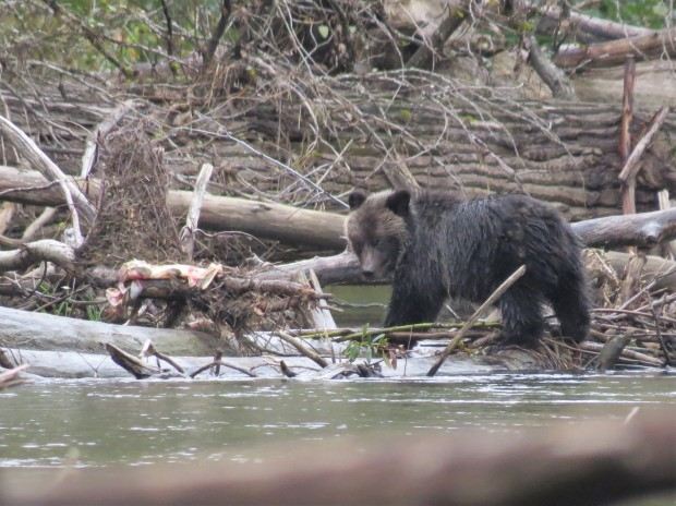 Just before our first tour finished we came across a cinnamon black bear and her adorable cub. We'd see them again later in the week.